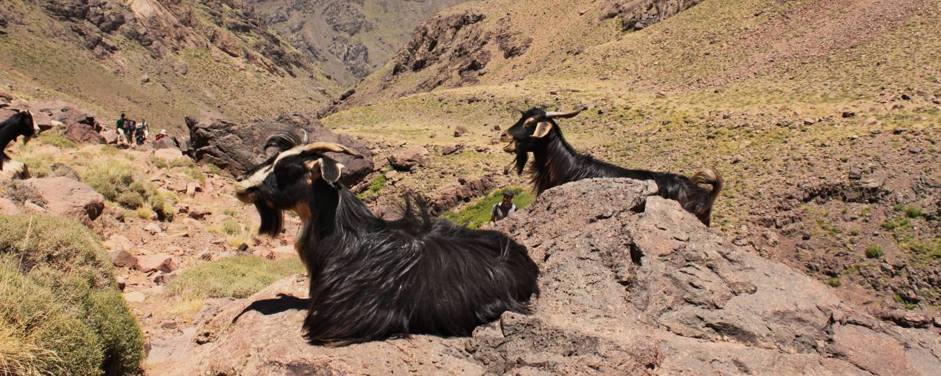 Goats Relaxing on Rocks in the Atlas Mountians
