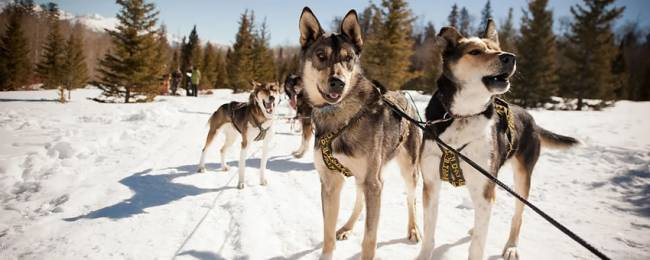Wintermoon Dogsledding Dogs