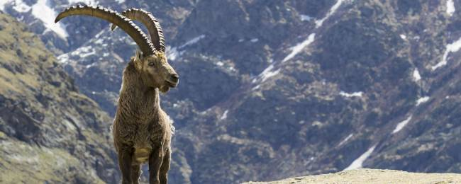 Ibex on a Hillside