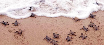 Baby Sea Turtles Walking to the Ocean